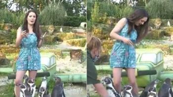 女主播穿短裙揪企鵝播氣象 小腿狂被啄:我又不是魚!