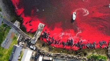 丹麥1428隻海豚慘遭殺害「染紅大海」 驚悚畫面曝光