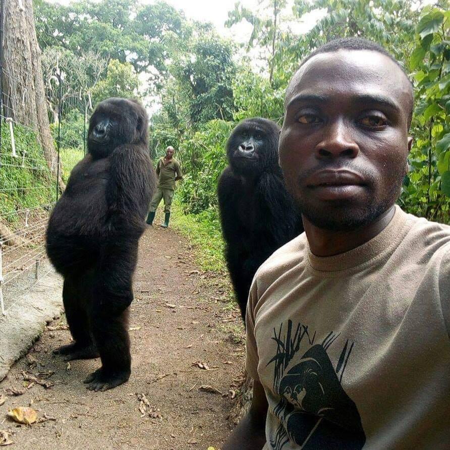 鼻酸照!全球「最會自拍大猩猩」 在保育員懷中病逝