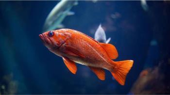 尪養魚不清魚缸!她爆氣「自己來」紅龍魚秒變香噴噴