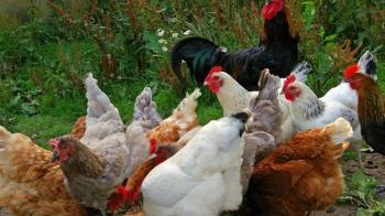 北市2婦人亂丟「白色活雞」 內行人警告:這是詛咒