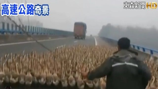 為省運費! 陸飼主趕1300隻鵝上國道