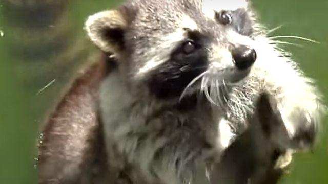 就是要吃!超萌浣熊「舉手」請求餵食