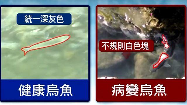 烏魚變「乳牛魚」!台東復魚區水域遭染
