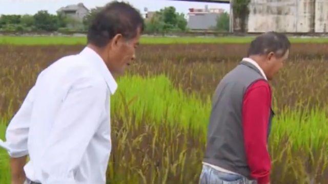 海峽拚經濟》陸來台「淘米」 台農備戰