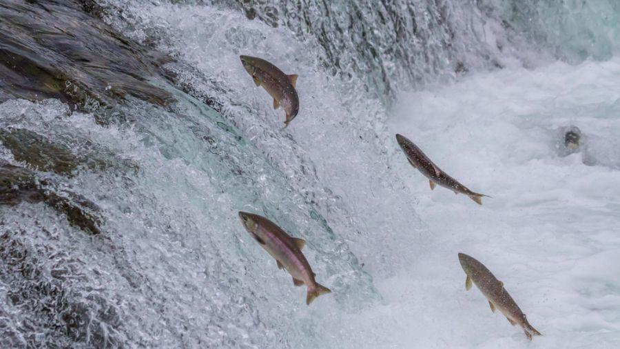 暖化!加州連年大旱 野生鮭魚生態瀕危