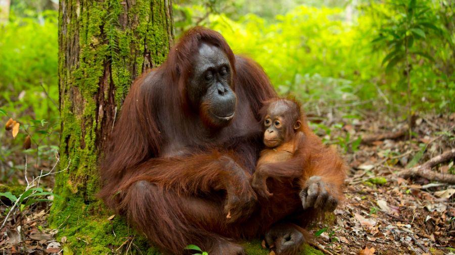 搶救!盜獵猖獗 剛果國家公園猩猩剩...