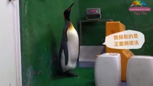 卡哇伊!國王企鵝量體重 黑麻薯好呆萌