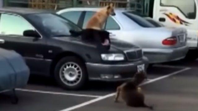 四隻狗引擎蓋上玩瘋了! 車主心淌血‧‧‧‧‧