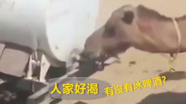 呼搭啦!駱駝自己「轉開水龍頭」喝個爽