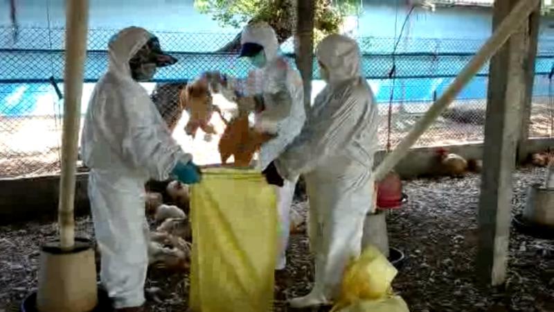 新型H5N2流行?防疫所撲殺 10,810隻雞