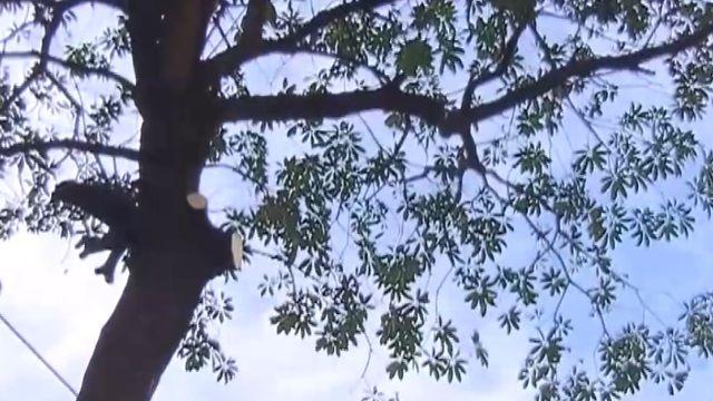 當街修樹木!無警告標示 樹幹掉落險砸