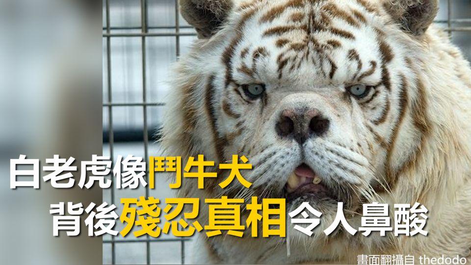 白老虎像「鬥牛犬」 背後殘忍真相令人鼻酸