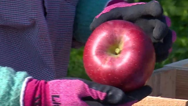 青森蘋果美味有原因!照顧得像顧孩子