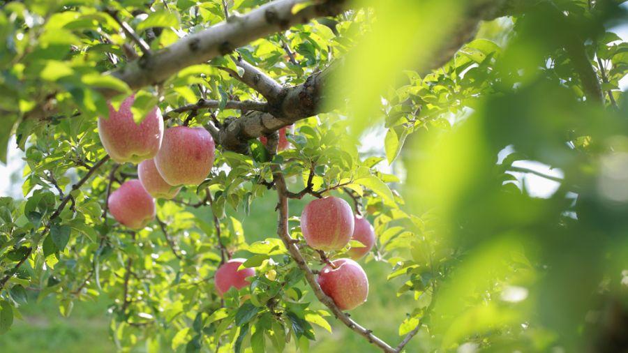 洗刷福島核「汙」名!青森蘋果從黑翻紅