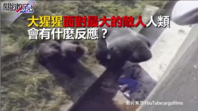 小男孩摔進大猩猩園區 沒想到牠舉起手準備…