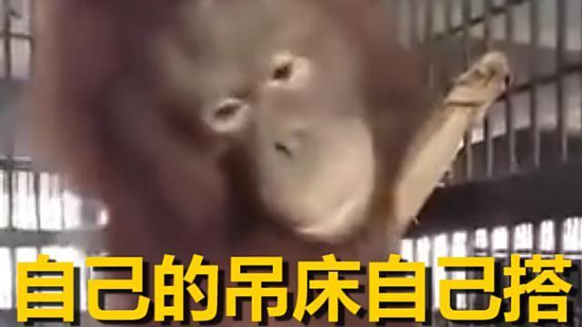 紅毛猩猩自己搭吊床 萌度破表