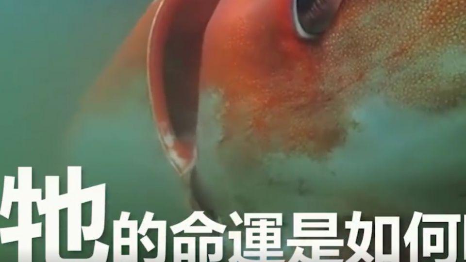 意外!嗜吃海鮮日本人 遇上大烏賊竟然…