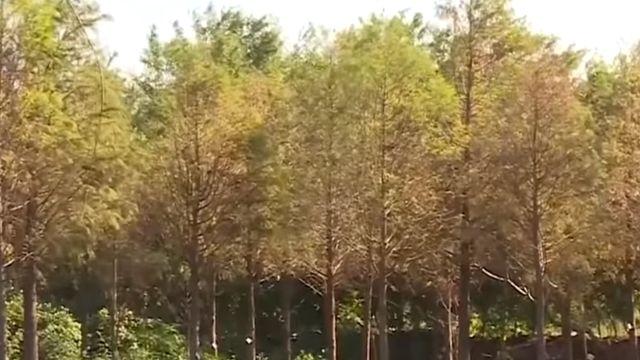 冬季最夯景點! 彰化市區落羽松林秘境