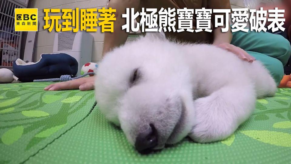 玩到睡著 北極熊寶寶可愛破表!