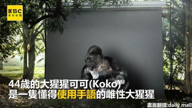 大猩猩比手語 呼籲人類:救地球