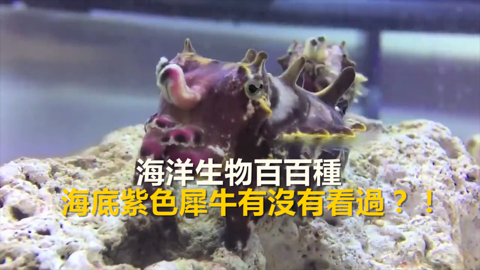 海洋生物百百種 海底紫色犀牛見過嗎?
