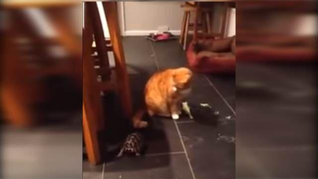 進擊的烏龜!瘋狂衝撞橘貓