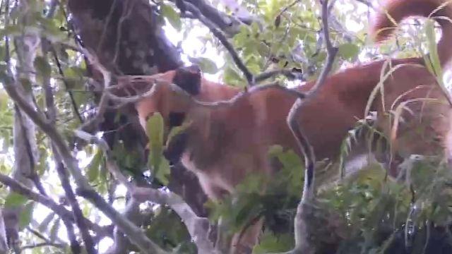 這樣也行?最會「爬」的狗 為主人上樹趕獼猴