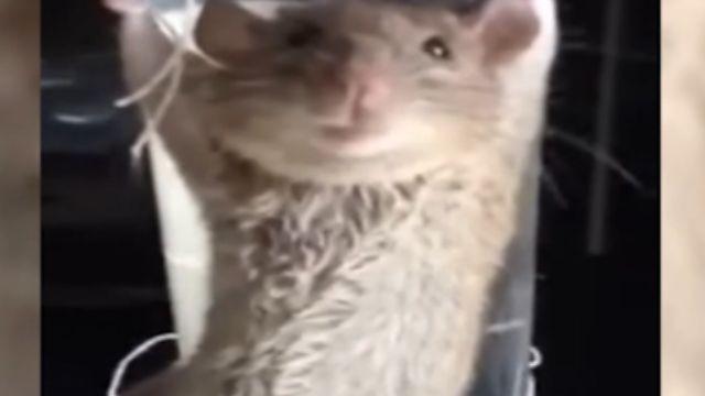 「敢咬壞我沙發」 大媽拷問鼠「有沒有同夥」