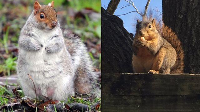 暖冬食物供應足 從未看過這麼胖的松鼠