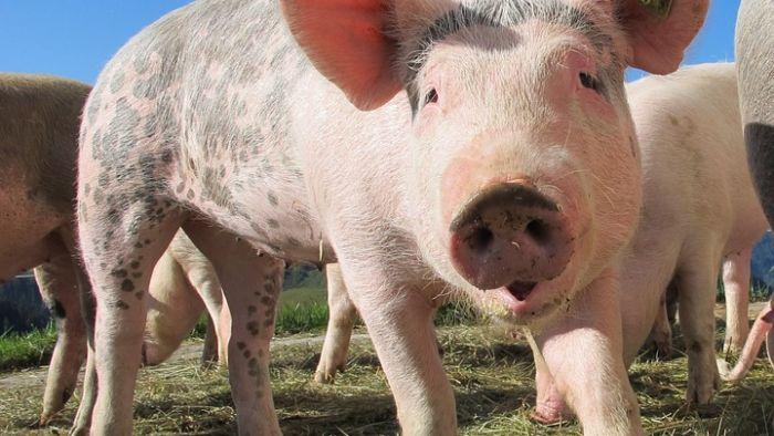豬體內培養人類器官? 引道德爭議