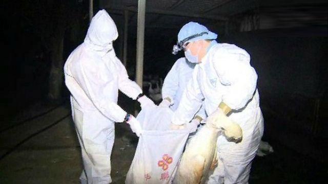 感染H5雞瘟  彰化大撲殺逾2.3萬隻雞