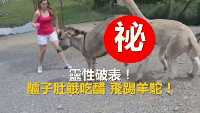 靈性破表!驢子肚餓吃醋 飛踢羊駝!