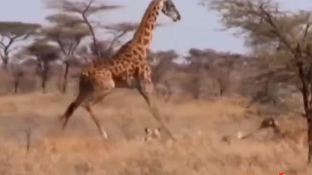 憤怒的長頸鹿!獅子吞掉她的孩子後…