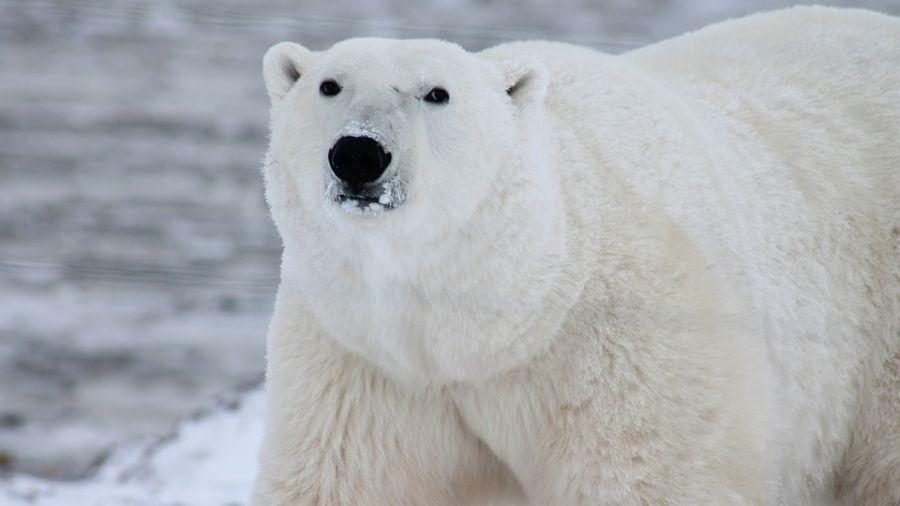 全球暖化失家園 北極熊滅絕危機