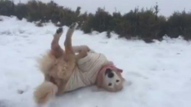 雪地黃金獵犬 超萌打雪仗