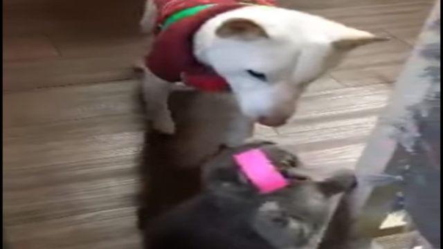 「歹咪阿」貼貓頭「白皮哥」來解救