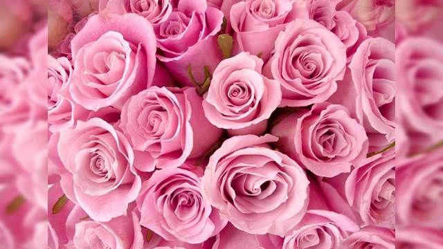 玫瑰寒害漲價 情人節恐大缺貨