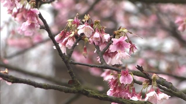 陽明山花季首日 平等里櫻花盛開
