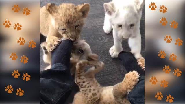 4小獅大啖主人腳丫 這味道...?