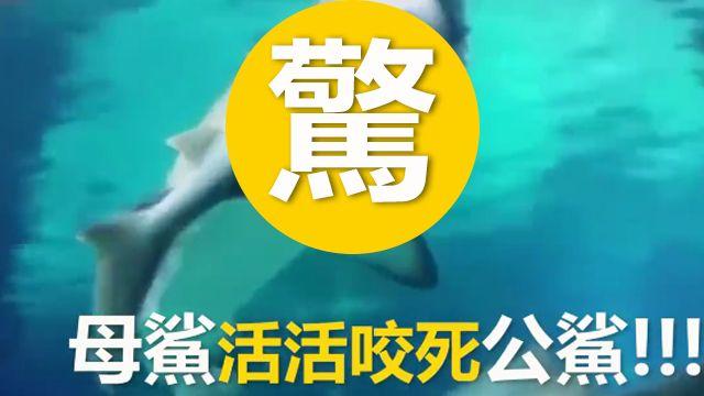 嚇!大母鯊活吞小公鯊 遊客當場傻眼