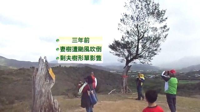 「妻樹」被颱風吹倒 村民幫孤單「夫樹」迎娶