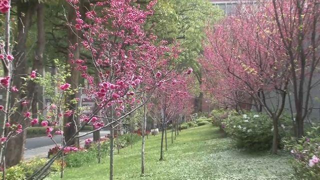 校園藏櫻花祕境 暨大、大葉春節盛開爭豔