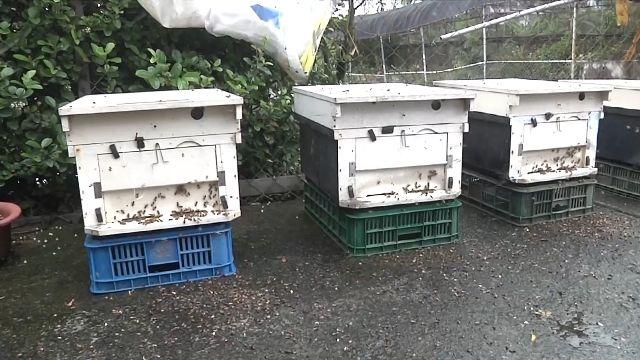 太冷!凍死蜜蜂 蜂農「沒蜜賣」損失上百萬