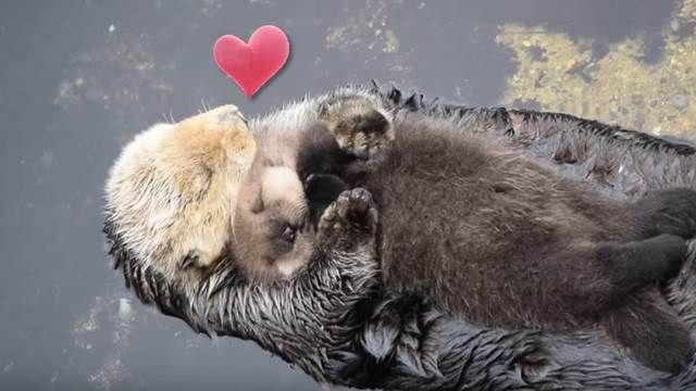 超溫馨!水獺媽媽對寶寶滿滿的母愛