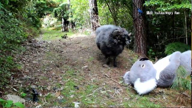 紐西蘭「憤怒羊」新招 衝撞無尾熊玩偶