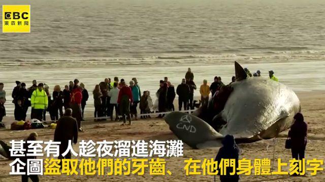 抹香鯨連環擱淺死亡 原因至今尚未查明