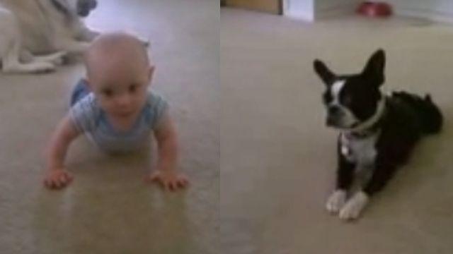 驚!狗狗「神示範」教小Baby學爬行