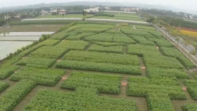 美! 東森空拍鏡頭 帶您看向日葵迷宮