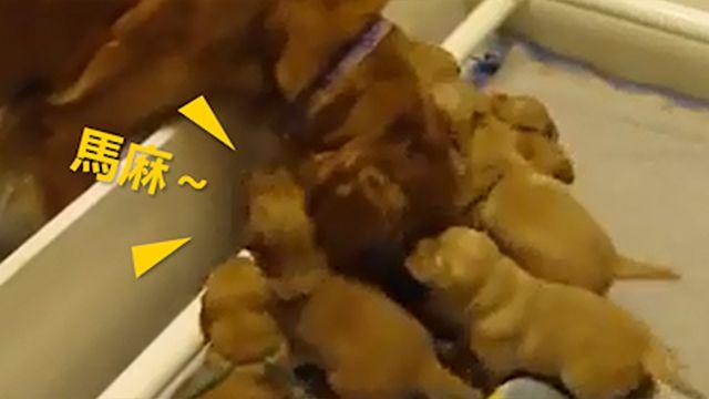 狗媽媽呵護寶寶?下一秒傻眼啦!